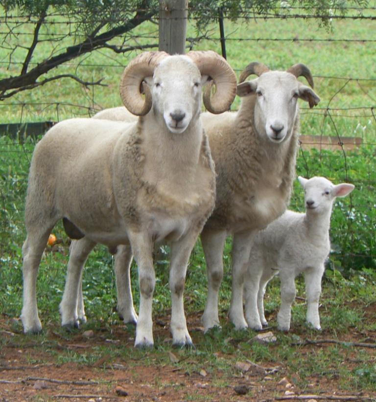 Copy (4) of 3 wh sheep (2).jpg