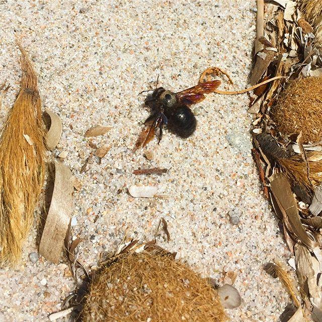 Abeille charpentière ♥️ 🔎👉🏼 🌊, Corse du sud, mai 2019 L'abeille charpentière est la plus grande espèce d'abeilles sauvages. Solitaire, elle ne vit pas en colonie, ne fait pas de miel mais pollinise 🌻, 🌳🍎.... . . . . . .  #abeille #solitaire #pollinisateurs #biodiversité #biodiversity