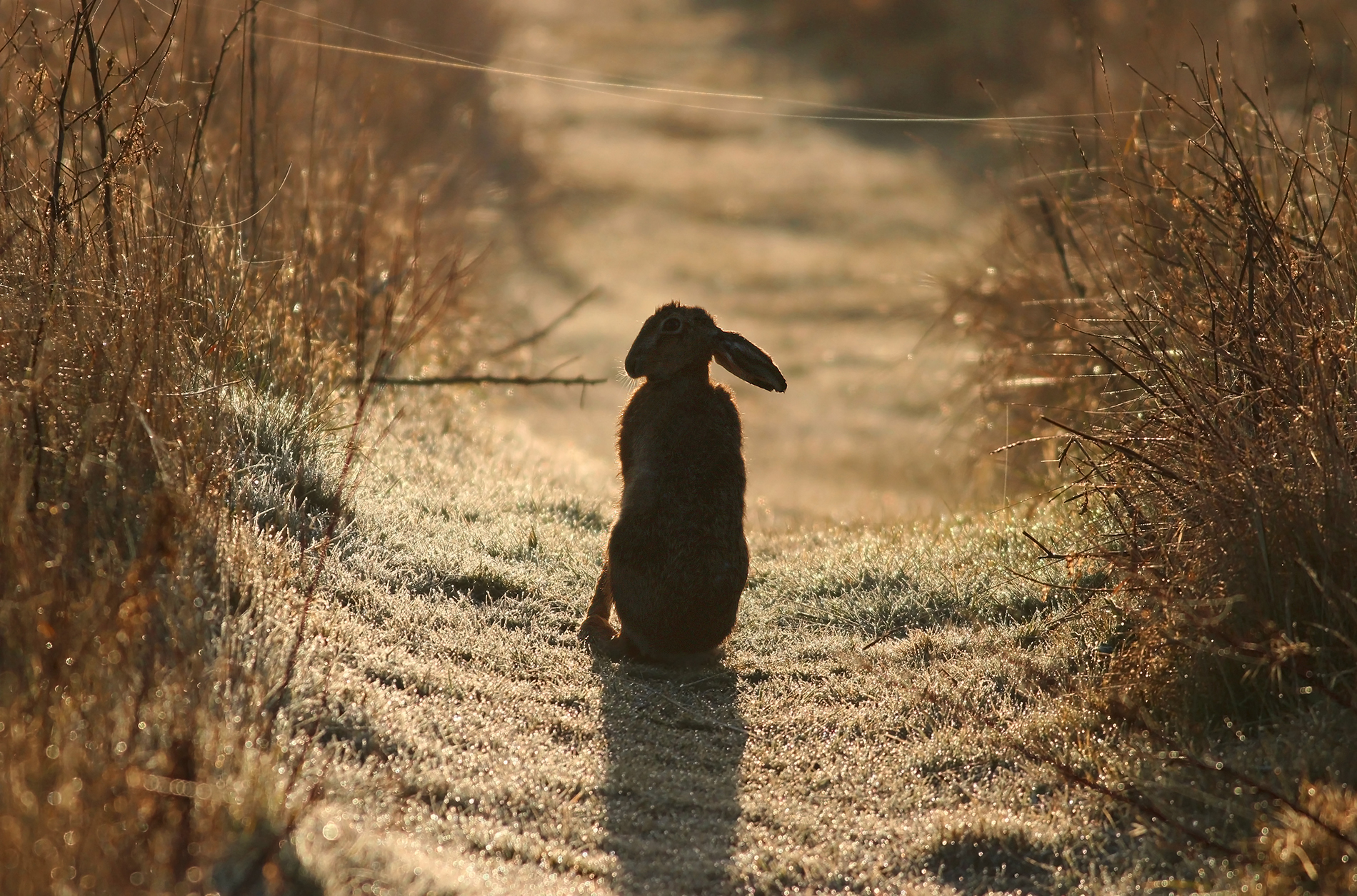 Brown Hare Silhouette