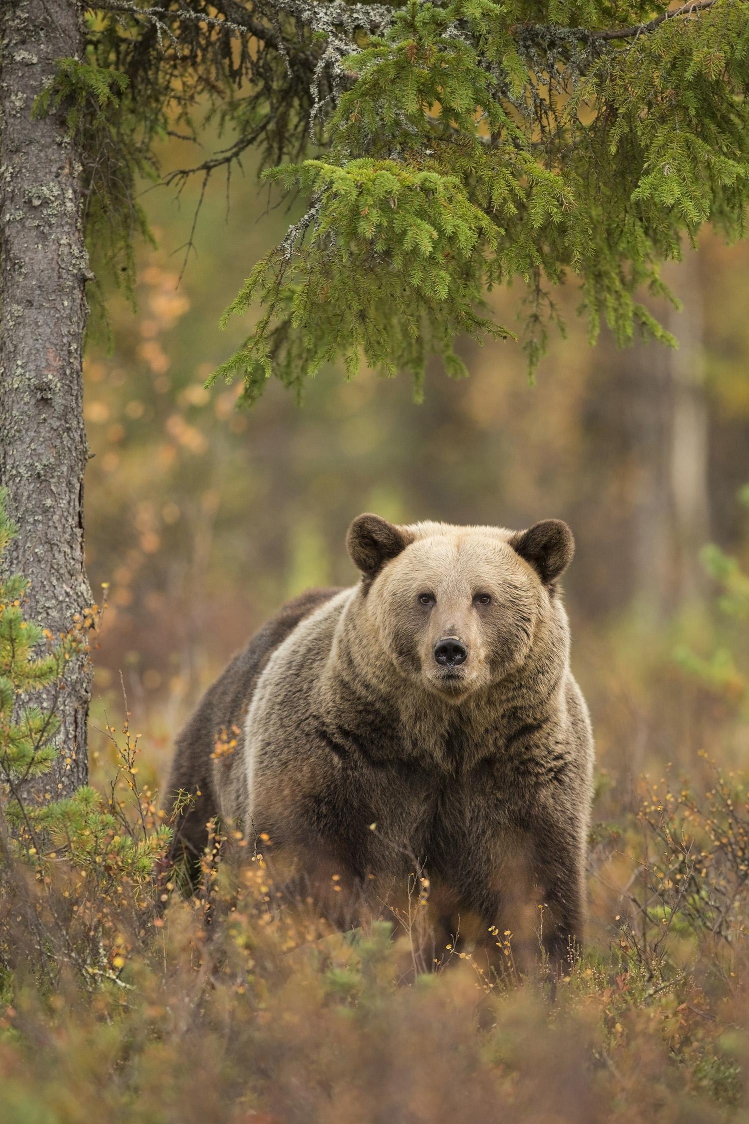 WEBSITE_Brown_Bear_Male_0T2A8893.jpg