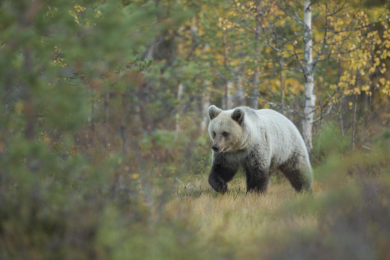 WEBSITEBrown_Bear_Autumn_0T2A9384.jpg