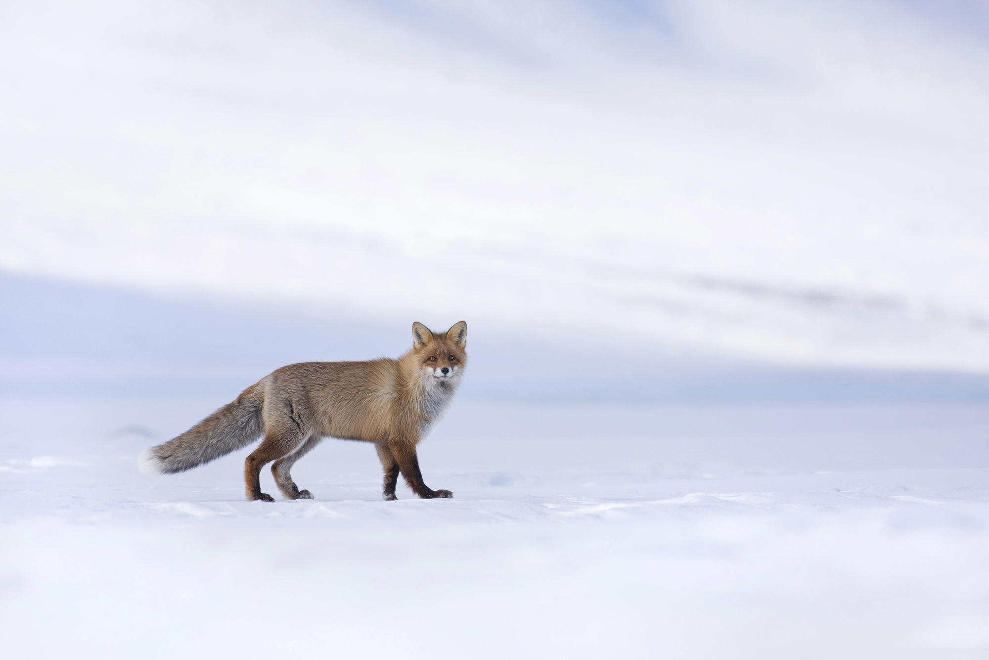 RSRed_fox_0T2A7348.jpg