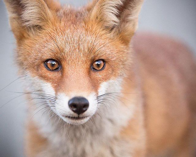 This beautiful urban Fox Cub posed for its portrait last night 🦊😍 #wildlifeplanet