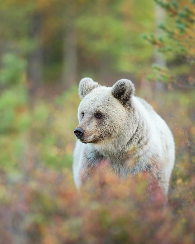 I still haven't seen a bear as cool as this rare blonde female from last autumn 😍 #visitingfinland • • I'm excited to be heading back to Finland in a couple of weeks to lead our 5th @bearphotoltd tour of the year alongside @kylemoorephoto. August always produces some unique photographic conditions in the pristine taiga environment surrounding the @wildbrownbear lodge - Our 2019 trips are fully booked, but we still have spaces on our 2020 tours! Follow the link in my bio if you'd like to see bears in true Finnish wilderness next year 🐻