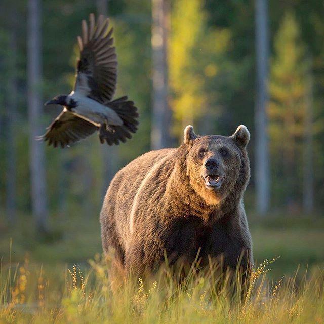 Did you know that Brown Bears HATE having their food stolen? 👎🏼 #brownbear #crowsofinstagram