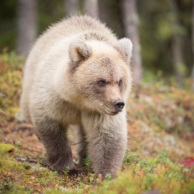 Somewhere deep in the Finnish forests, lives a rare species of snowball 🐻🌲 #discoverfinland #brownbears