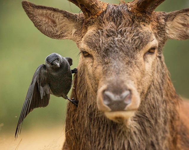 A little Jackdaw fearlessly hops around on a Red Deer stags head, looking for snacks 🐛 #naturephotos #davidandgoliath @bbcearth These important relationship between small and large animals can be seen throughout most of the animal kingdom. From the small Remora fish which follow and clean Great White Sharks, to Oxpecker birds, which remove ticks and other parasites from the skin of Rhinos, symbiotic relationships occur among the most unlikely species. It's always helpful to lend someone a hand after all... ❤️