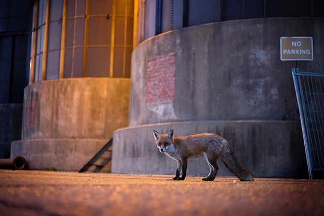 The UK's biggest city might seem starved of nature, but wildlife clings on in the most built up places 🌃 #redfox #urbannature @canonuk