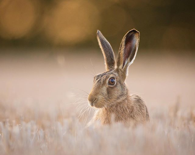 There's no doubt that this Hare knew I was taking it's picture last night 🤨 #alert #bokeh  As much as I like to sit waiting patiently for a Bear to emerge out of the forest, there's nothing more satisfying than putting good fieldcraft into practice to get close to skittish subjects like Brown Hares. Usually these alert and speedy little fellas will run at the first sight or sound of a human shape. However finding a good place to lay low and hide, allowed me to get much closer than I usually would by approaching these shy animals myself.