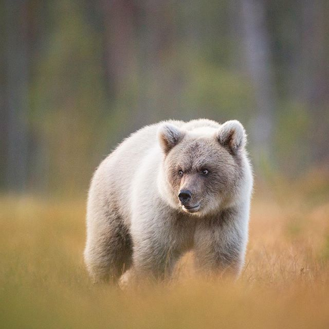 When mum says hibernation is just around the corner 😳 #worried #snowball Check my previous post to see this very bear cub 1 year younger! 🧸 During our August trip with @bearphotoltd we enjoyed some amazing sightings of this adorable white fluff ball alongside it's darker brown sibling. The pair would often make noises to communicate with one another, staying very close by to eachother at such a vulnerable stage in their lives.  They would also regularly look back at one another, allowing us to observe some funny interactions. I spent multiple nights attempting to capture a backlit shot of a bear from a ground level perspective. Although I'm still chasing that particular image, this persistence did allow me to capture this softer portrait. Shooting at f4 gave the image a really shallow depth of field, coupled with the low angle and diffused foreground 🐻 Hopefully we will be lucky enough to see the siblings again during this weeks trip - Follow @harryreadphoto to stay up to date 😁