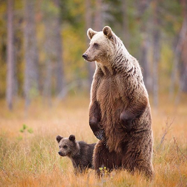 Protective mother bear towers above her yearling cub, scanning the area for danger 🧸🐻 #littleandlarge @bbcearth  Although this looks like a female bear acting sassy, it was actually an evasive behaviour to assure the safety of her cubs close by. At the first sight of danger, this mother bear rose up onto her back legs, towering above her tiny yearling cub. An adult bear had also emerged in the distance and was heading towards this mamma bear and her 3 cubs. It was exciting to see this natural behaviour unfolding in front of my hide, as the protective mother let out some angry snarls and growls. The other adult bear soon realised that the mother was not playing around, and quickly changed direction heading into the dense forest. The mother lowered herself back to the ground, quickly moving her cubs away to safety.