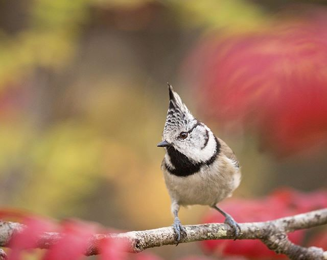 A Crested Tit perched amongst some stunning autumn colours 😍 #punks #crest @bbcearth These guys are definitely the punks of the bird world 🤘🏼 As the autumn progresses, temperatures here in remote Eastern Finland drop week by week. We noticed that the smaller birds had recently started to feed much more frequently, becoming much bolder than usual, investigating any potential feeding opportunities. I setup right next to the most vibrant Rowan tree I could find, and sure enough the birds began to curiously follow, hoping I would feed them. Although they're extremely fast, this Crestie sat still for long enough, so I could take a couple of colourful portraits through the leaves 🍁 To see more of Finland's wildlife over the next few  weeks - Follow @harryreadphoto to stay up to date 😁