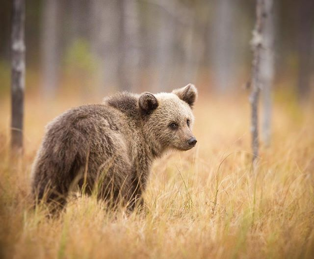 When the argument is over and they mutter something else 👀 #brownbears #visitfinland • Sticking with the theme of Bears, here's a gorgeous cub from last week. I took this image at the lowest angle I could manage, without losing the tiny bear amongst the tall vegetation. As its mother and siblings wandered off into the distance, it peered back towards me for a couple of seconds. With all 6 @bearphotoltd trips behind us, it's nice to look back on what was an amazing season. Thank you to all of the people who joined us in 2019! Keep an eye out for some new images in the coming weeks, taken in the UK 🇬🇧