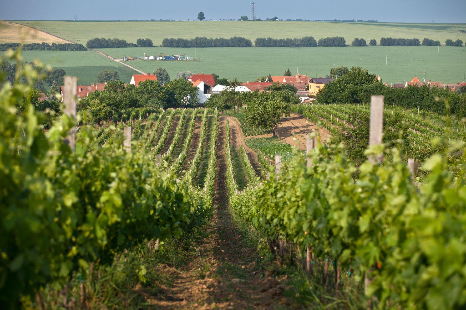 Hlavni Kopie vineyard of Krasna Hora Winery