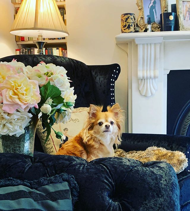 Yes, Indiana, we know you're gorgeous 💖👑 #chihuahuasofinstagram #chihuahua #myloves #rescuedogsofinstagram #mysunshine #babies #vegansofinstagram #veganfortheanimals #whyimvegan #mybabies #dogsofinstagram #animallovers #mamignonne