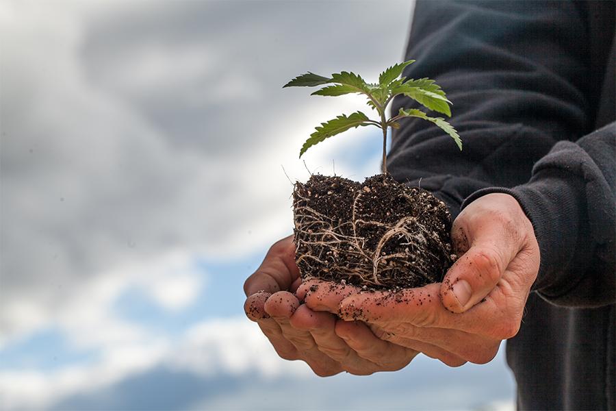 Cannabis plant root.jpg
