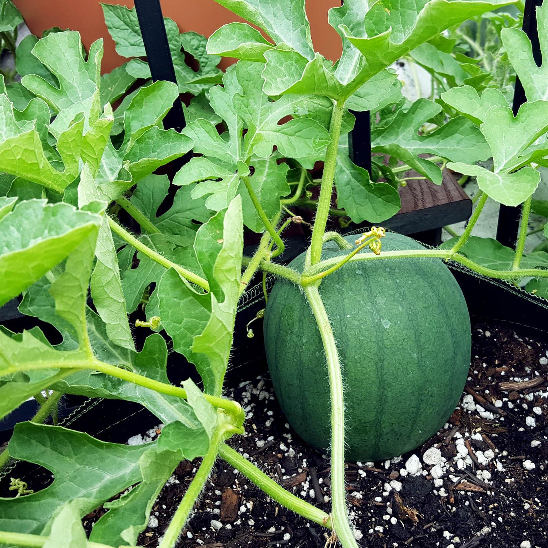WatermelonTeenager.jpg