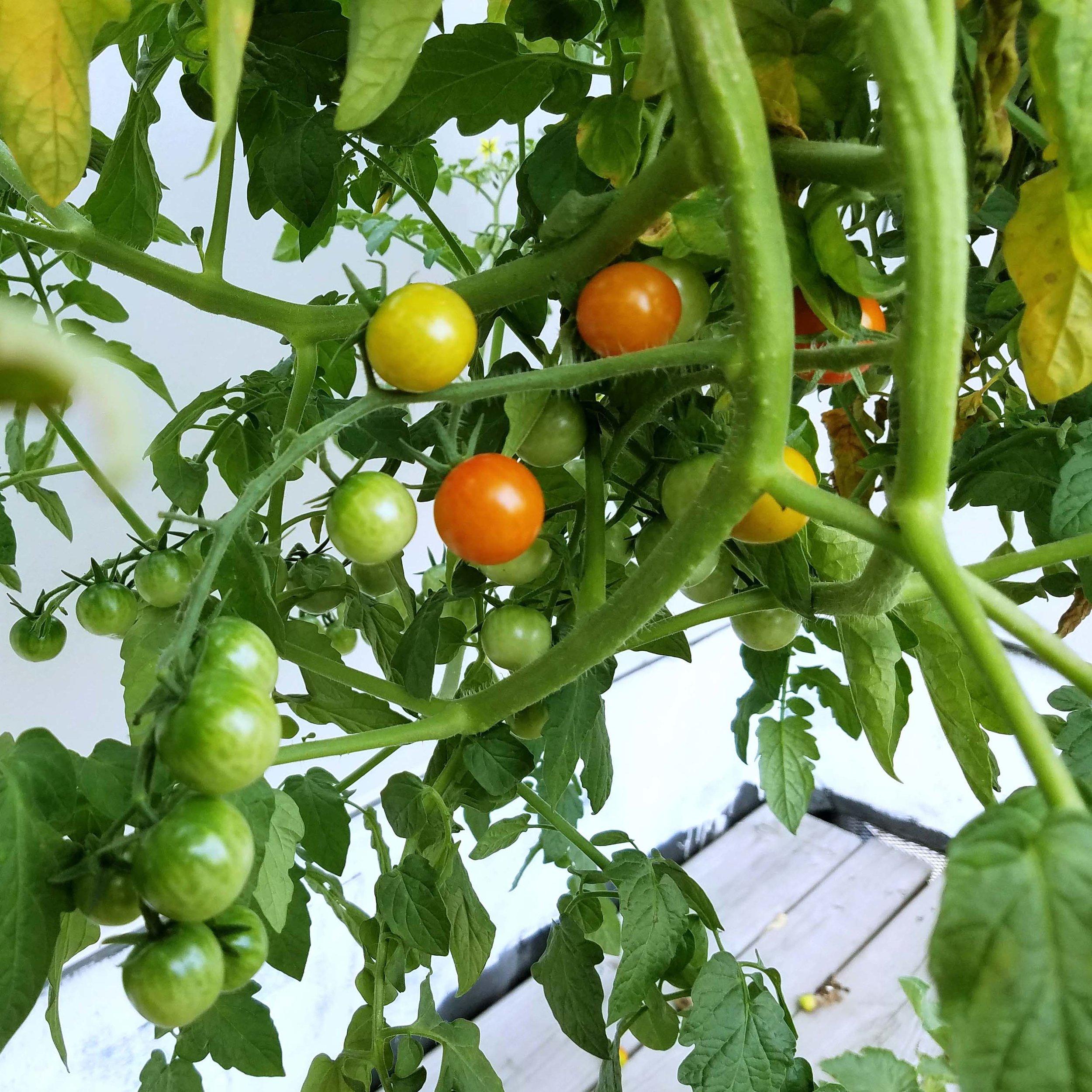 Tonsoftomatoes.jpg