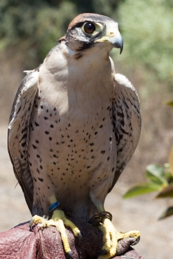 Marty the Lanner Falcon