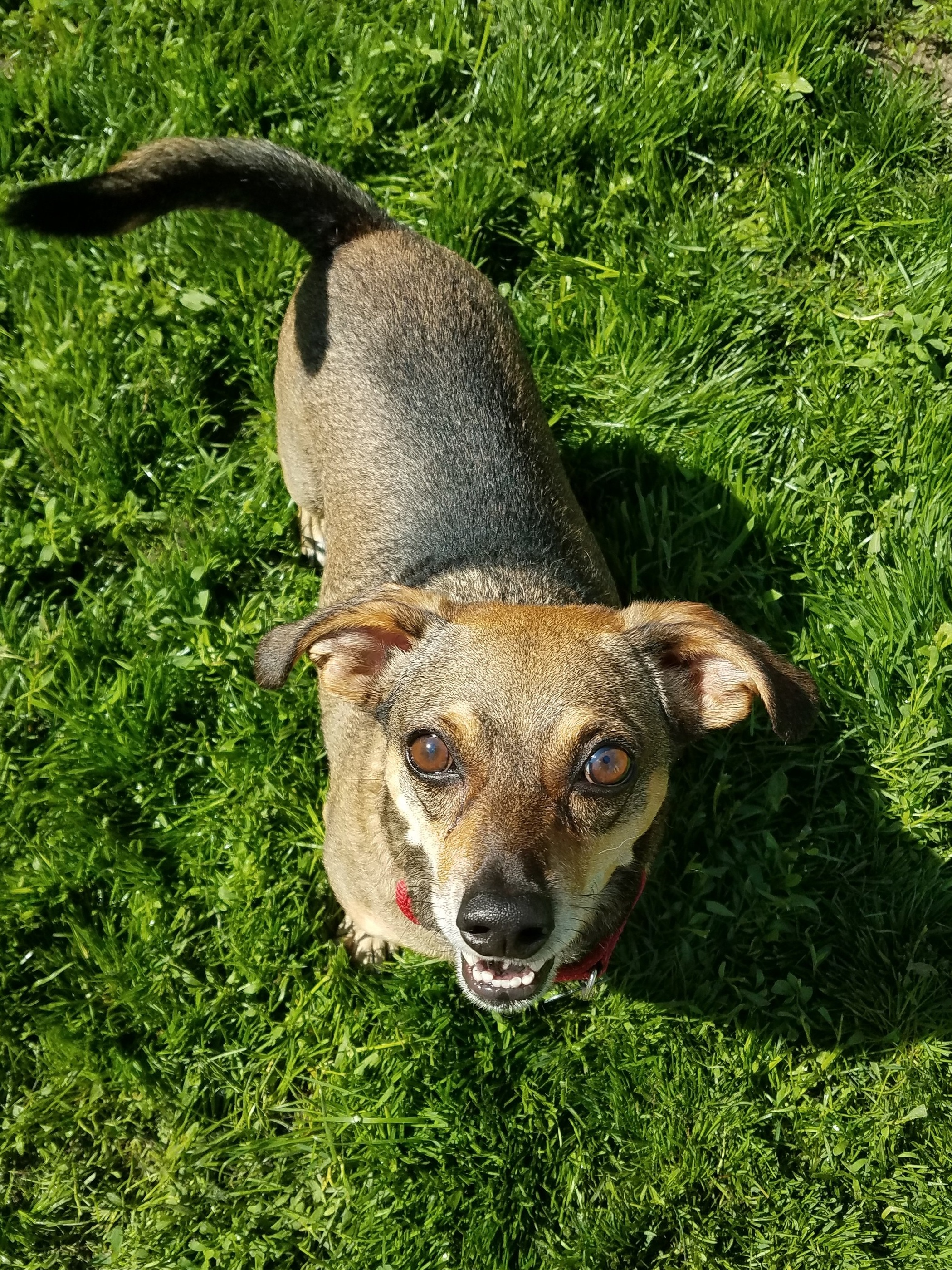Do you need a little shadow? Barney is just the pup for the job! He bonds quickly and fiercely, and he'll follow you anywhere. Barney is good with calm older kids, cats, and other dogs. He is a 7 year old Dachshund/Chihuahua mix who is already house trained! Barney loves going for walks, snuggling, and being with his people. He is neutered, microchipped, and up to date on all vaccines!  For more information or to adopt Barney apply at  www.rescueofhope.com/adopt