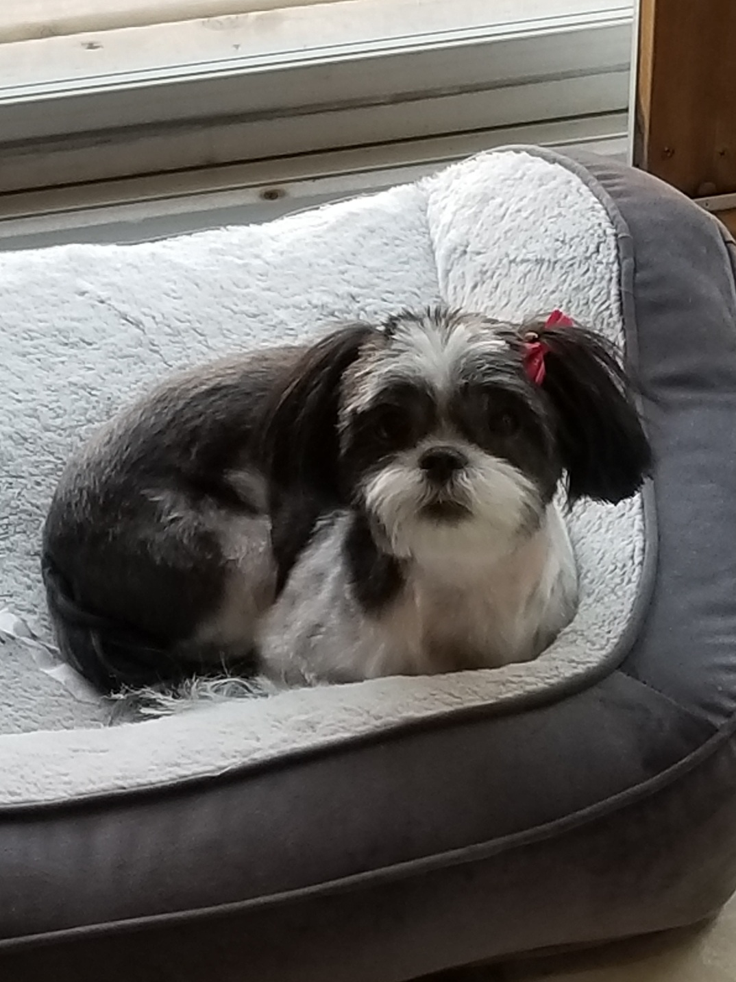 If you're looking for a young dog that is beyond the puppy stages, look no further! Sochi is a 5 year old Shi Tzu mix that would love a home of her own. She loves everyone she meets, but does have some anxiety around small children and other dogs. Sochi would do well as an only dog or with a calm, confident dog to learn from. Sochi is pee pad trained, spayed, microchipped, and up to date on all vaccines.   Contact us  to learn more!