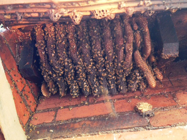 The bee colony estimated to be 50 years old or more