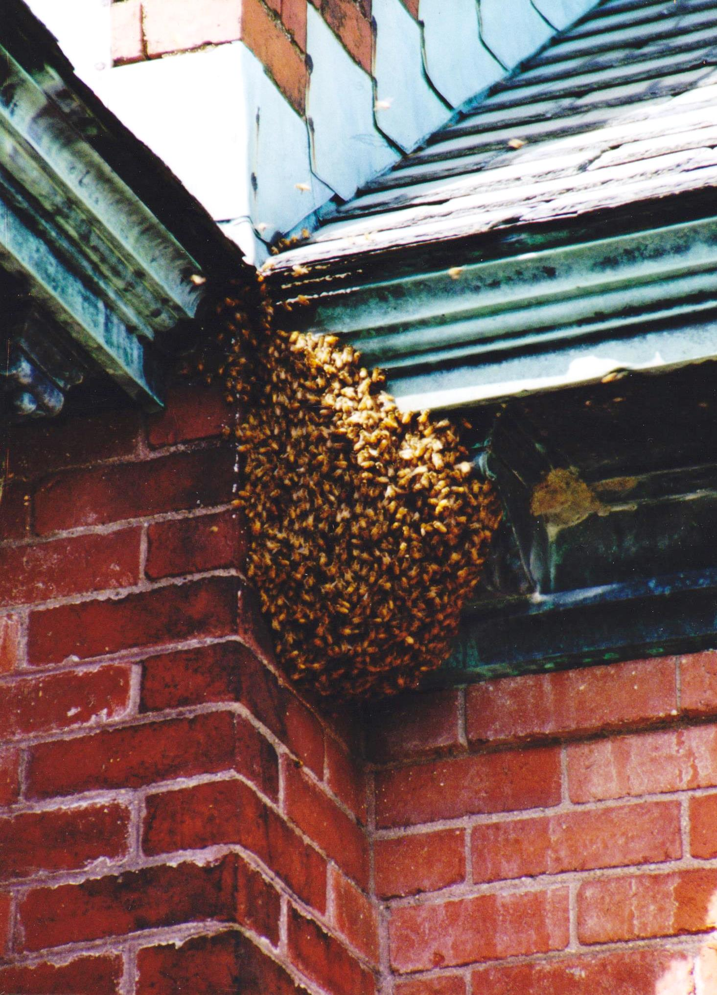 """The very first """"Bee Invasion"""" is pictured here. A swarm on the Chapel in 2002."""