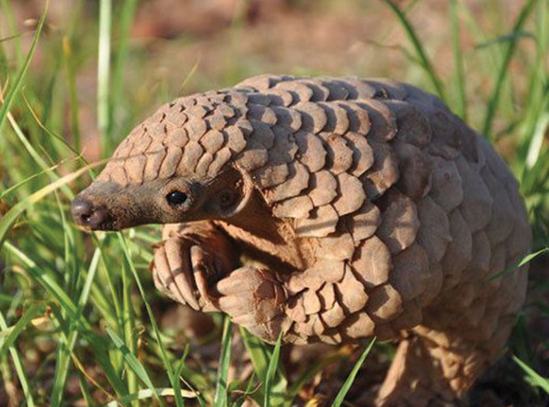 Pangolin-in-colour.jpg