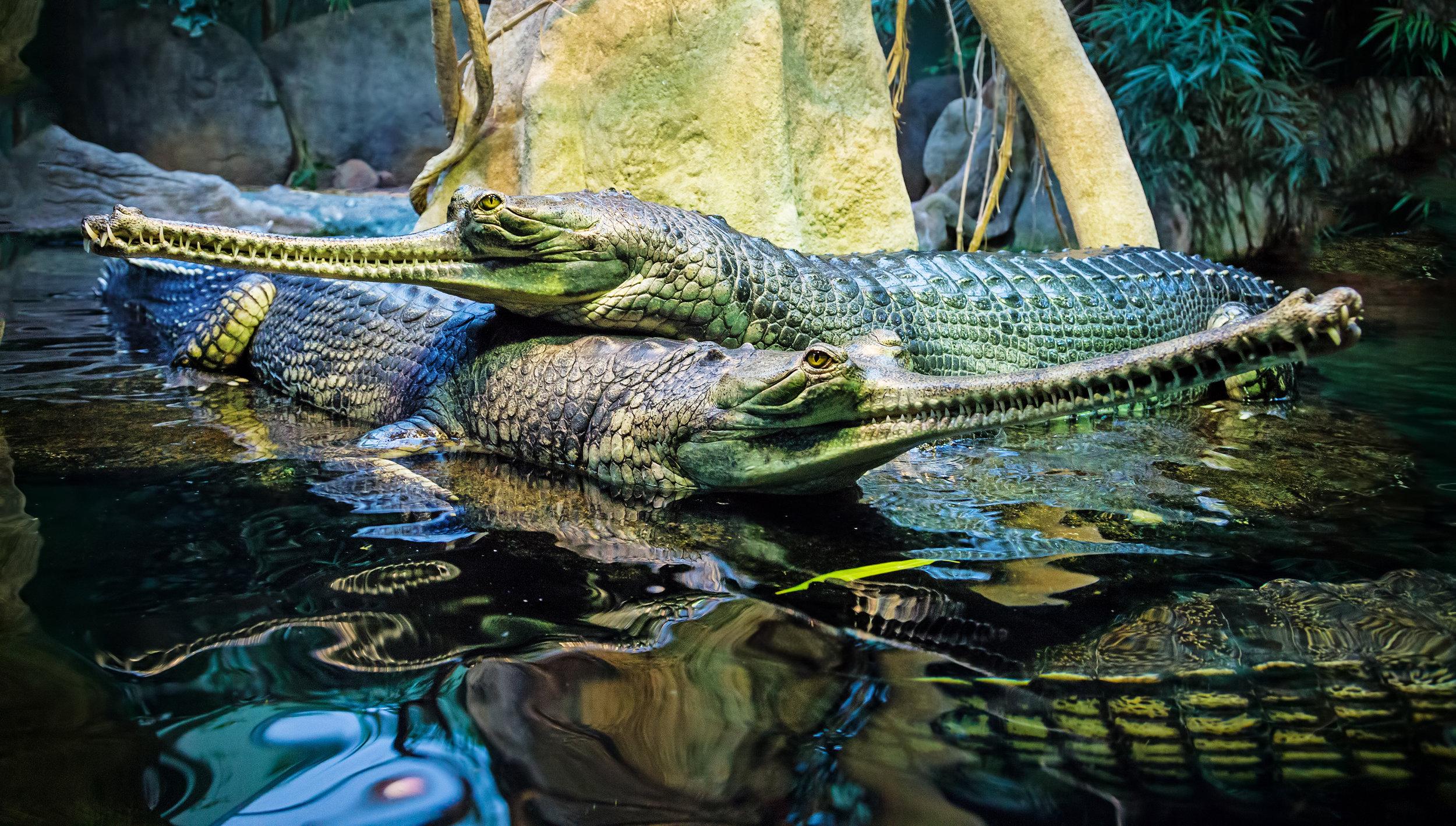 AdobeStock_135353813_Indian gharial, Gavialis gangeticus.jpg