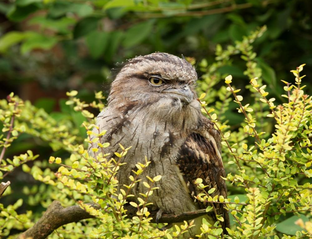 AdobeStock_15563627_-Tawny-Frogmouth-owl.jpg