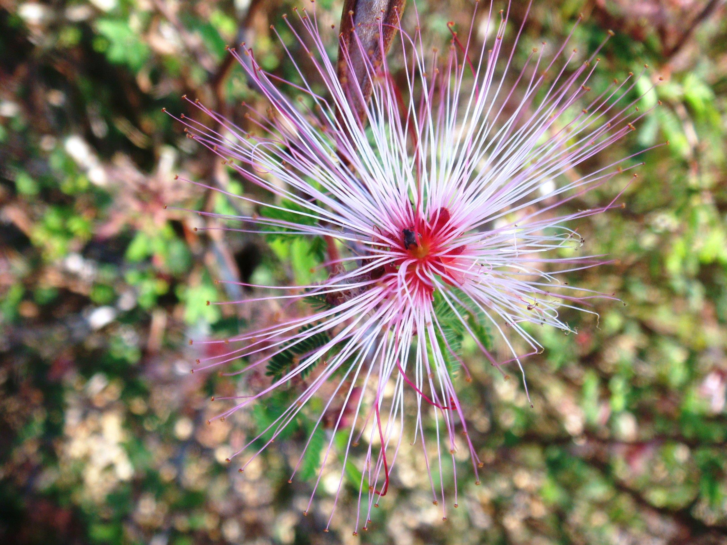 Calliandra eriophylla.JPG