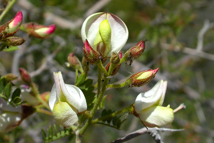 Coursetia glandulosa.jpeg