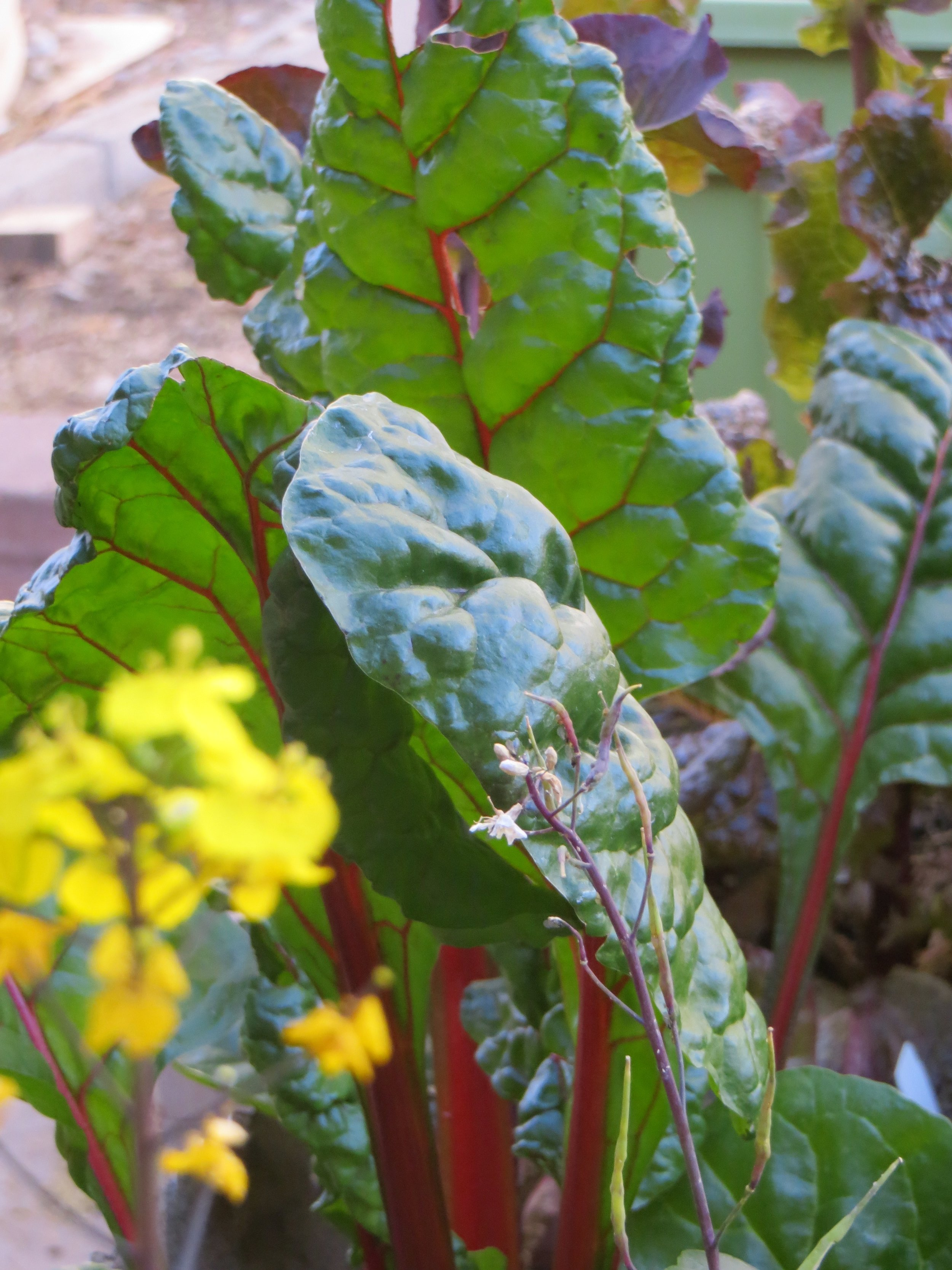Ruby Red Swiss Chard is an excellent source of vitamin C and is a beautiful addition to your garden. photo: Brandon Merchant