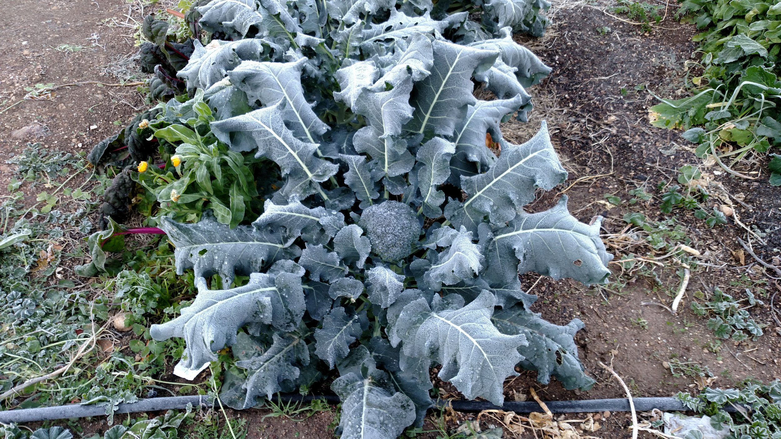Broccoli, cabbage, and other brassicas are highly resistant to frost damage and don't need covering