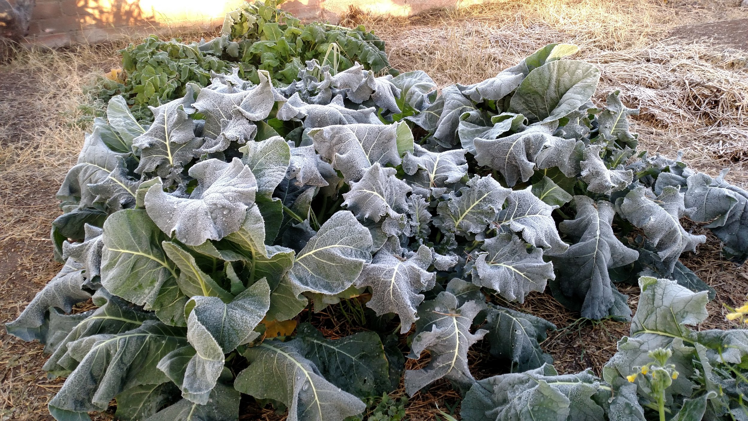 Although it looks bad, these broccoli plants will quickly recover as soon as the sun warms them.