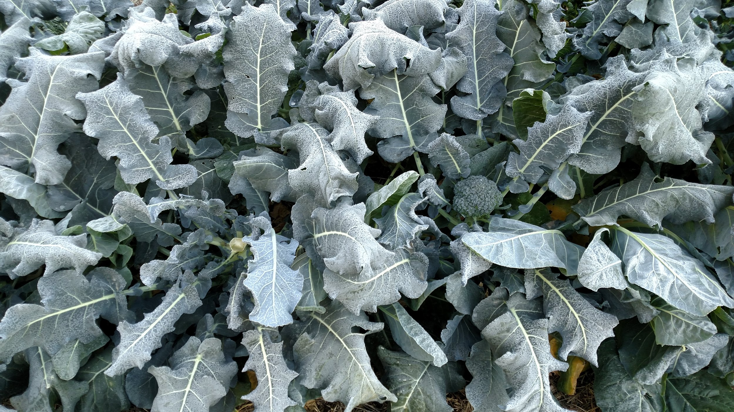 Intensive plant spacing is a great way to help plants stay warm in the winter.