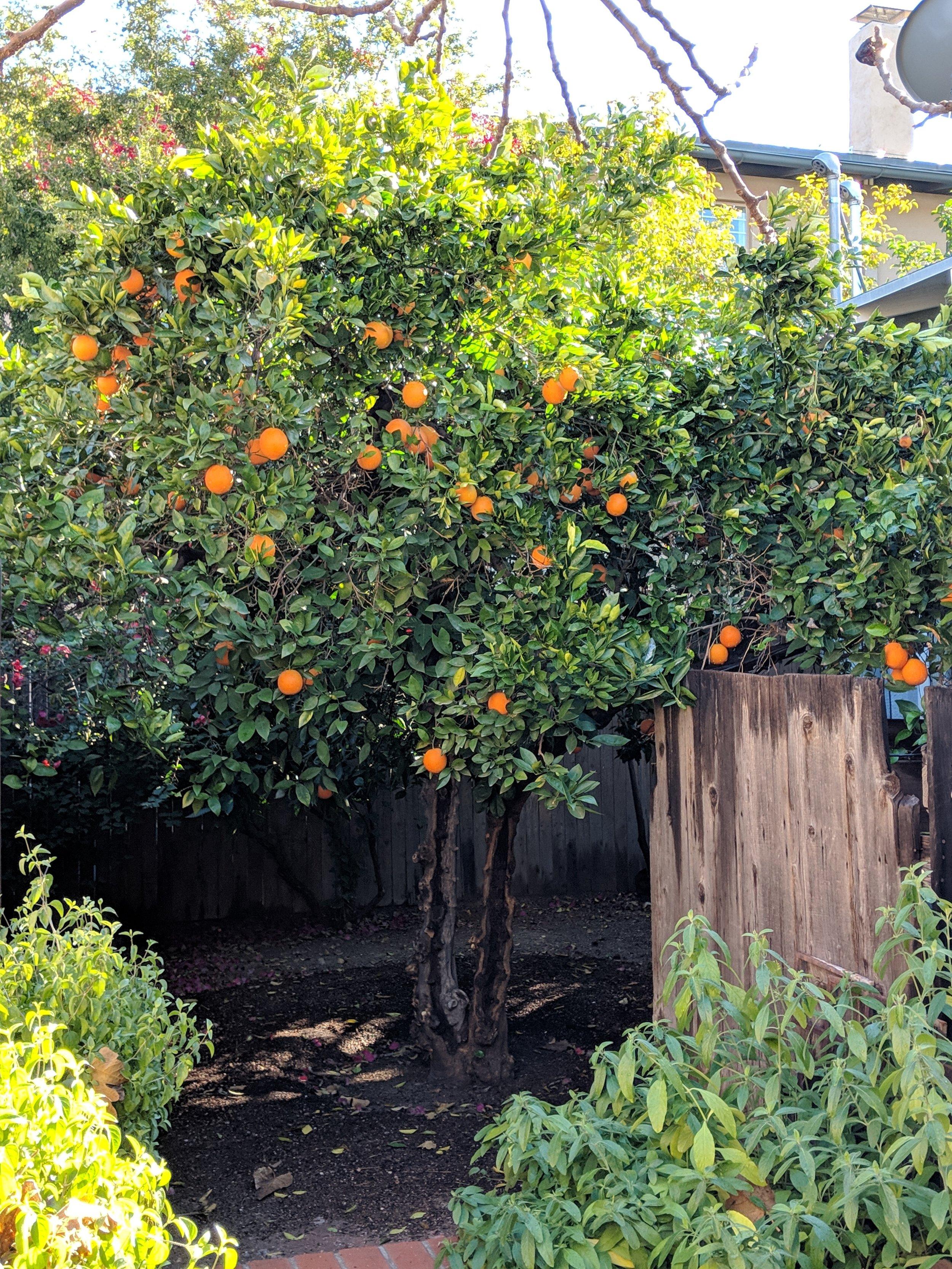 How To Fertilize Citrus Trees Southwest Victory Gardens