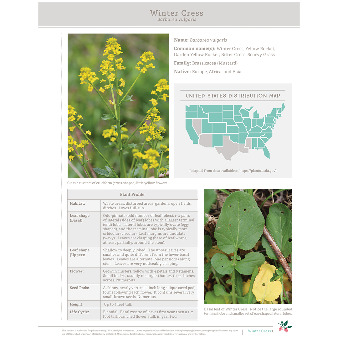 wild-edible-plant-winter-cress.jpg