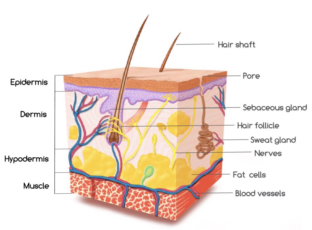 skin section labelled.jpg