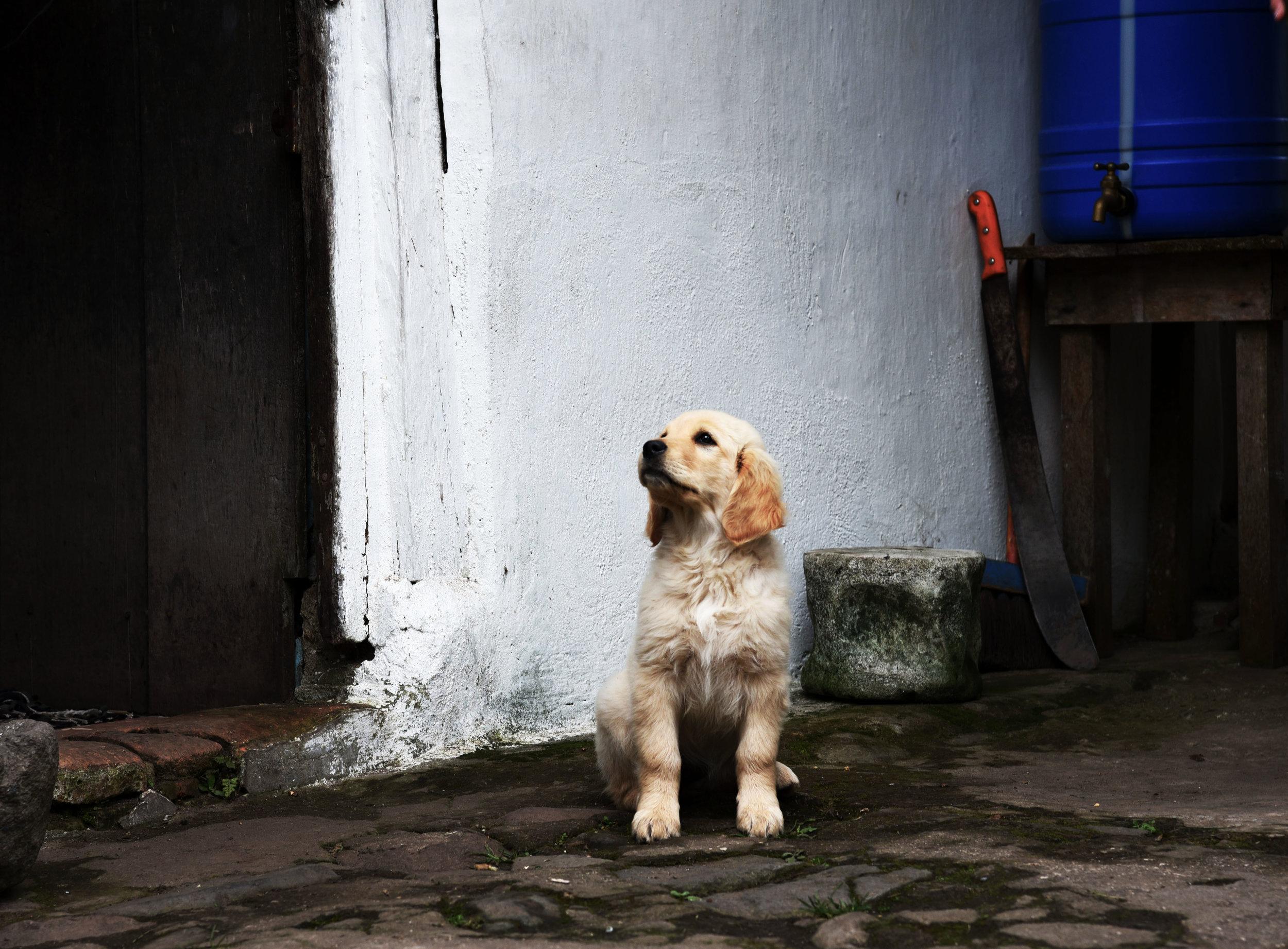 Cachorro del Bosque Nublado//Puppy of the Cloud Forest