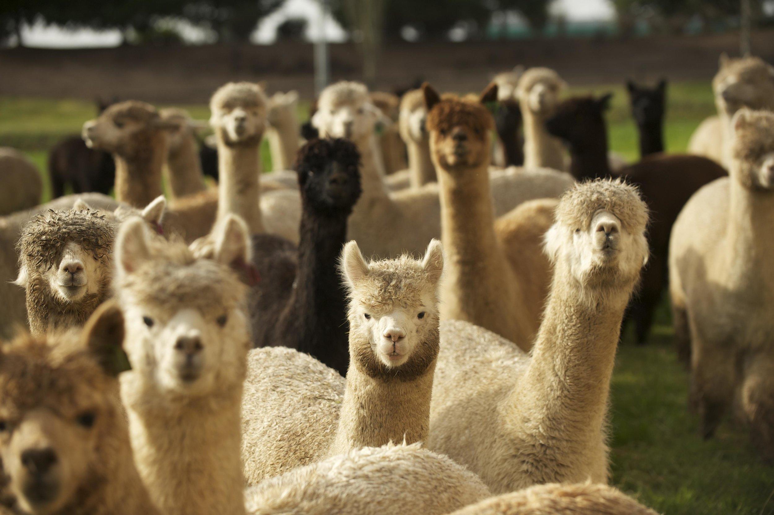 alpaca herd 4.jpg