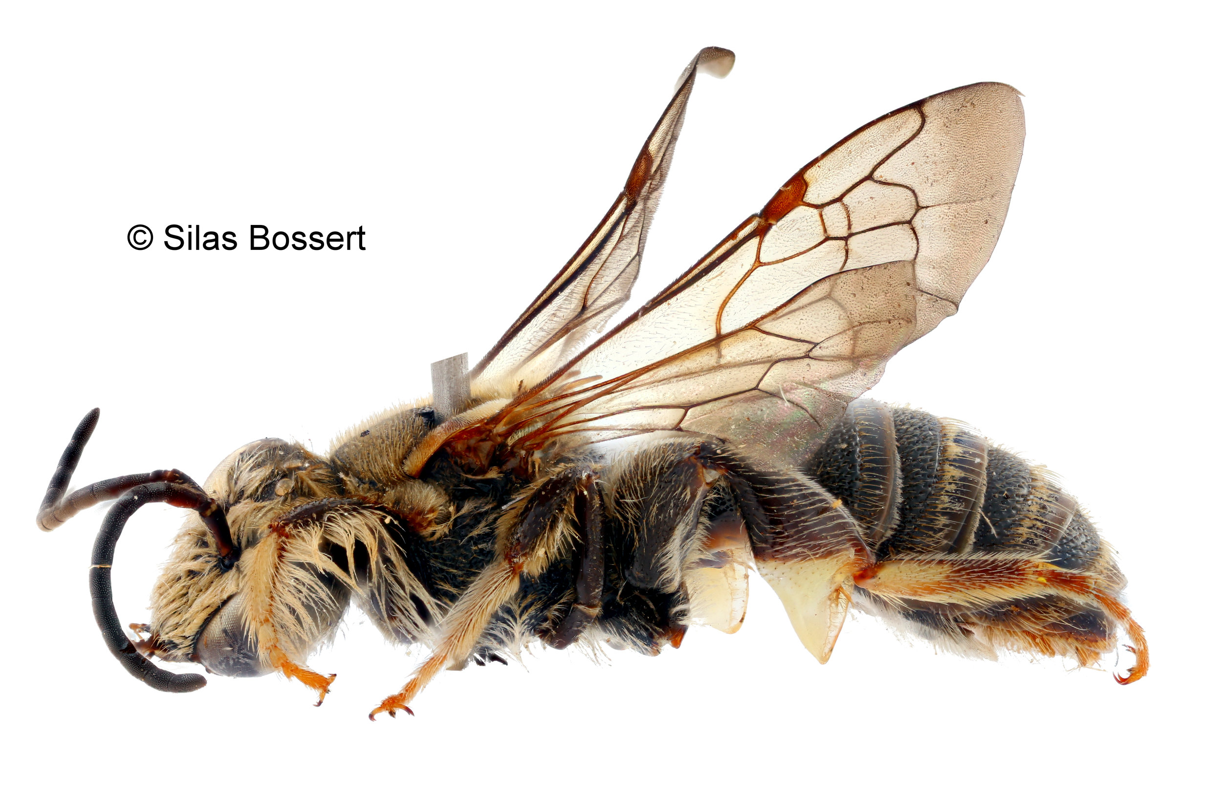 Stictonomia sangaensis - Stictonomia is a genus of nomiine bees restricted to Africa. Only 10 species are known, most of them only by a few records!