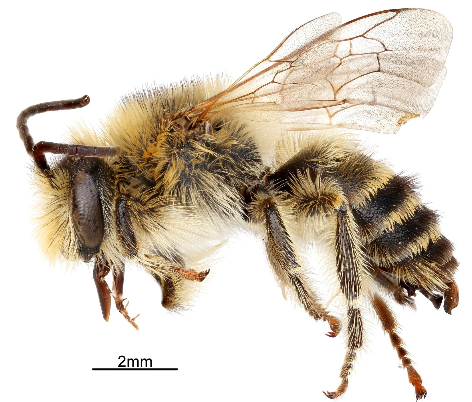 Melitta leporina - A male of Melitta leporina. This bee belongs to the bee family Melittidae, which are host-plant specialists. M. leporina exclusively collects pollen from legumes flowers (Fabaceae).