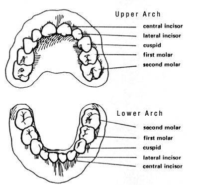primary teeth eruption chart.jpg