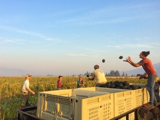 Loading squash in the field. Photo credit Harlequin Produce