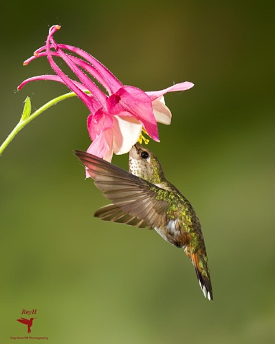 - This is my wife Sharon's favourite Hummingbird image.