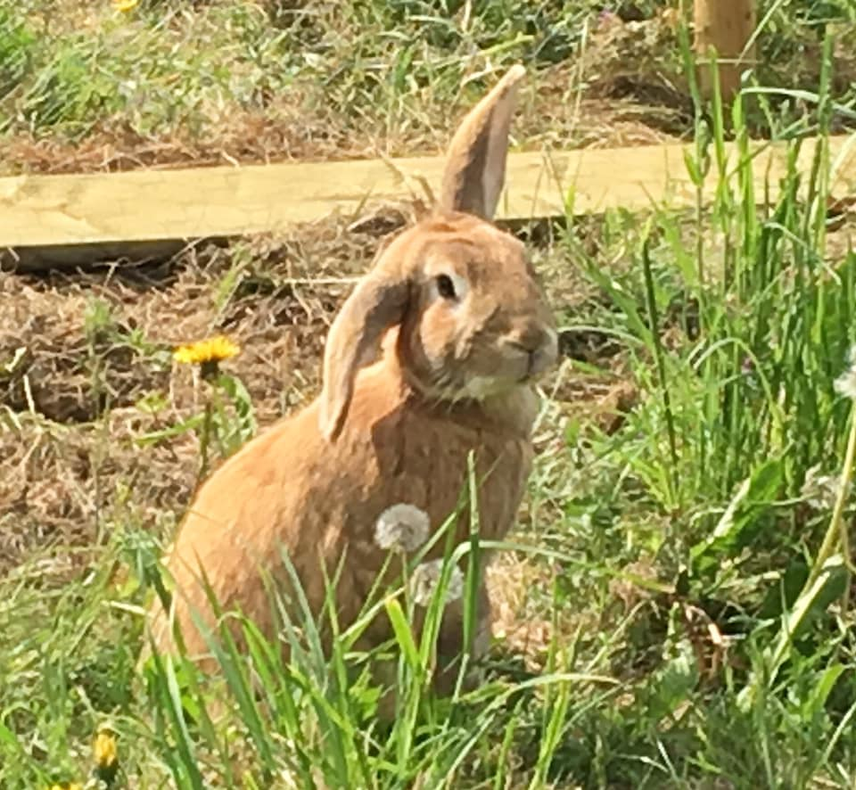 Meet Fudge, one of our beautiful bunnies at  Friends Community Farm .