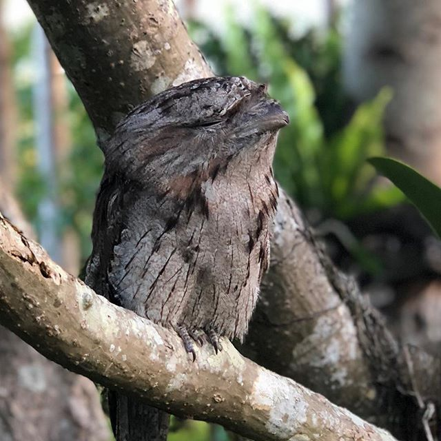 This southerly change makes for a good siesta. #frogmouth #siesta #biodiversty #nativefauna