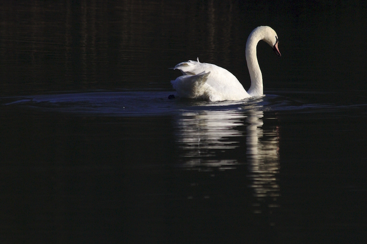 Swan Reflected 2073 D SM.jpeg