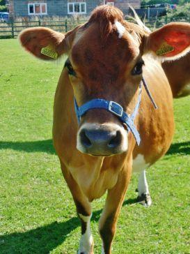 sheldon cow.jpg